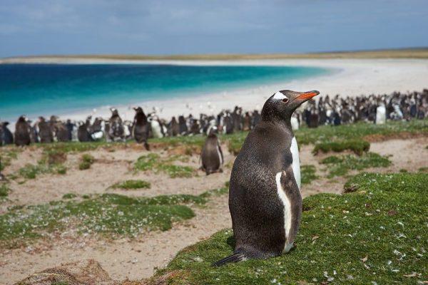 Falkland Islands Gentoo Penguins