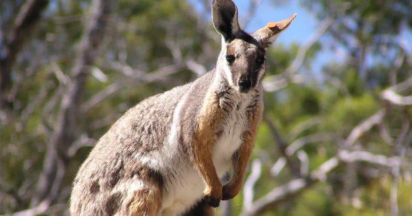 rock-wallaby-karryon