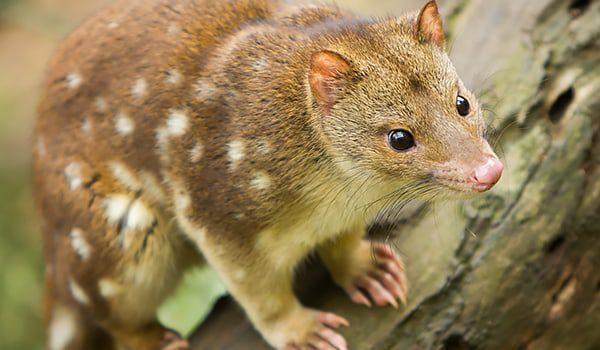 spottedtailquoll