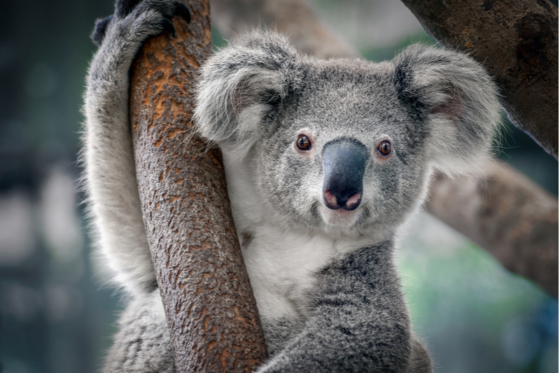 cute koala bear in a tree