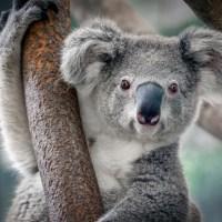 Five Cars Crashed but the Koala Bear is Fine