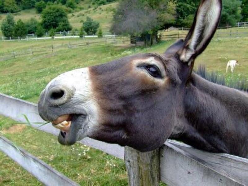 contoh hewan herbivora, keledai