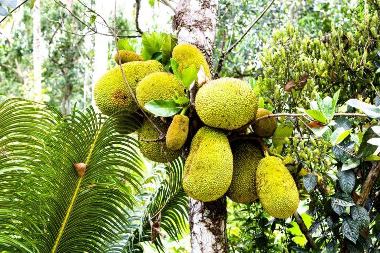 Jackfrucht-Exotische-Früchte-in-Thailand-18-Sorten-die-man-probieren-muss-29