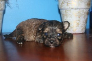 Biscuit Male Puppy3