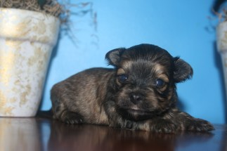 Biscuit Male Puppy4A