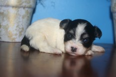 Biscuit Male Puppy5