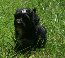 black havanese puppies playing in the grass outside