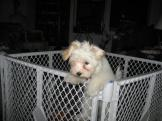White Havanese puppy dog climbing out of a cage pen