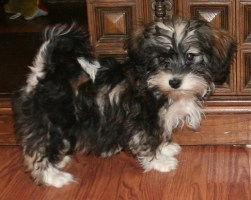 sable and white havanese puppy dog by kase - breeders in charlotte north carolina