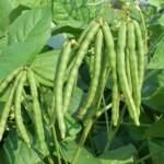 """ถั่วเขียวพันธุ์ใหม่""""ชัยนาท3″ ประโยชน์ 2 เด้ง เมล็ดใหญ่ ให้ผลผลิตสูง เพิ่มทางเลือกให้เกษตรกร"""