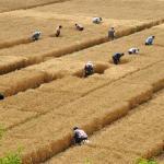 จีนพัฒนาพันธุ์ข้าวสาลีให้ทนทานสารกำจัดวัชพืชได้แล้ว