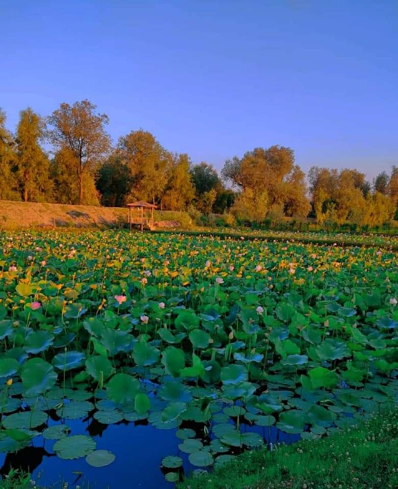 Baramulla Tales: Cousin brothers cultivate home-grown lotus stems, make entire locality proud