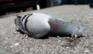 THANK YOU PIGEON FOR TEACHING ME THE ACTUAL MEANING OF LIFE
