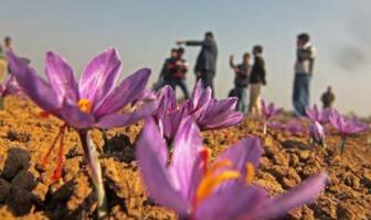 Blooming Saffron -- Photo: Bilal Bahadur