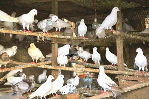 kashmiri-pigeons