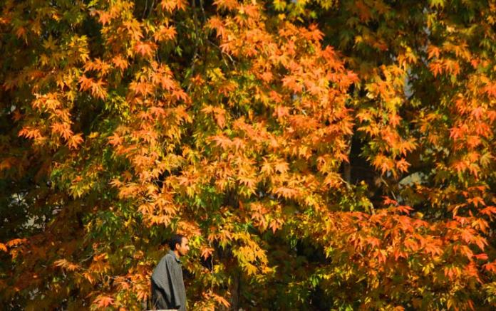 As autumn, the golden yellow season of Kashmir, draws to a close, the majestic chinar trees are at their fiery best. Their crimson coloured leaves - so rightly dubbed 'flames of the chinar' - lend a fairytale glow to the scenic valley.