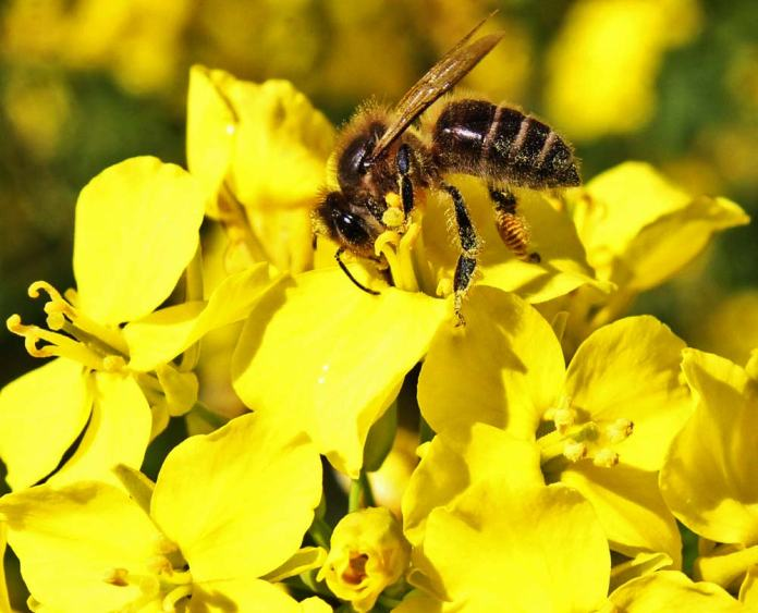 Mustard plants suffer from unusually few insect pests or plant diseases, and tolerate extremes of weather without serious harm.