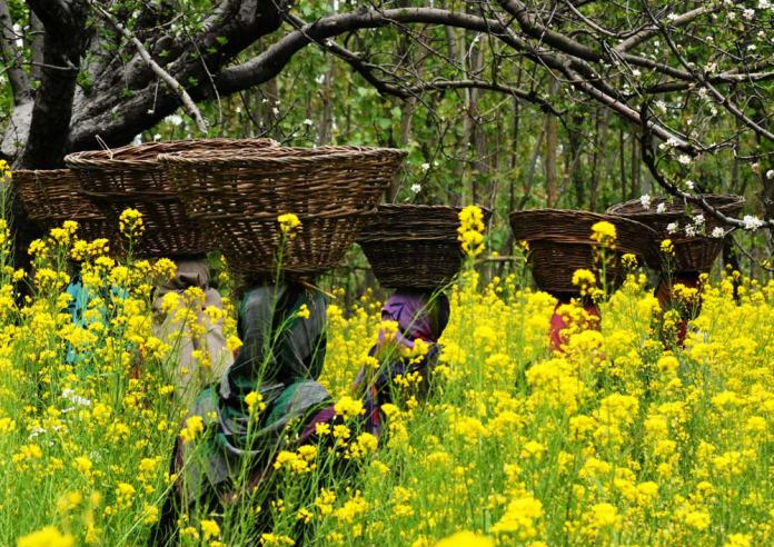 The most interesting feature of spring season is the Mustard fields.