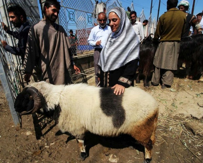 SHEEPS (7)