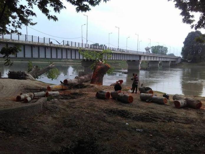 Chinars Cut Down in Shadipora 2