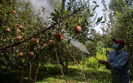 50 Days of Kashmir Clampdown: Fear of Unknown Grips Apple Growers