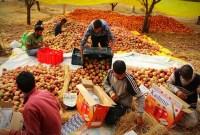 Fear Lurks Across Kashmir's Apple Orchards