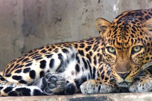 A Day After: Massive Hunt Launched For Stray Leopards in Central Kashmir