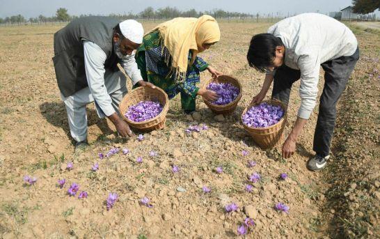 Saffron Surge Has Kashmir Farmers Smiling