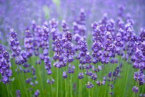 Lavender Oil Extraction Plant Opened at Lal Mandi