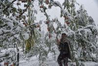 'We're Heartbroken': Snow-Buried Apple Orchards Numb Kashmiri Growers