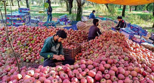 Scab infection attacks apple crop in south Kashmir