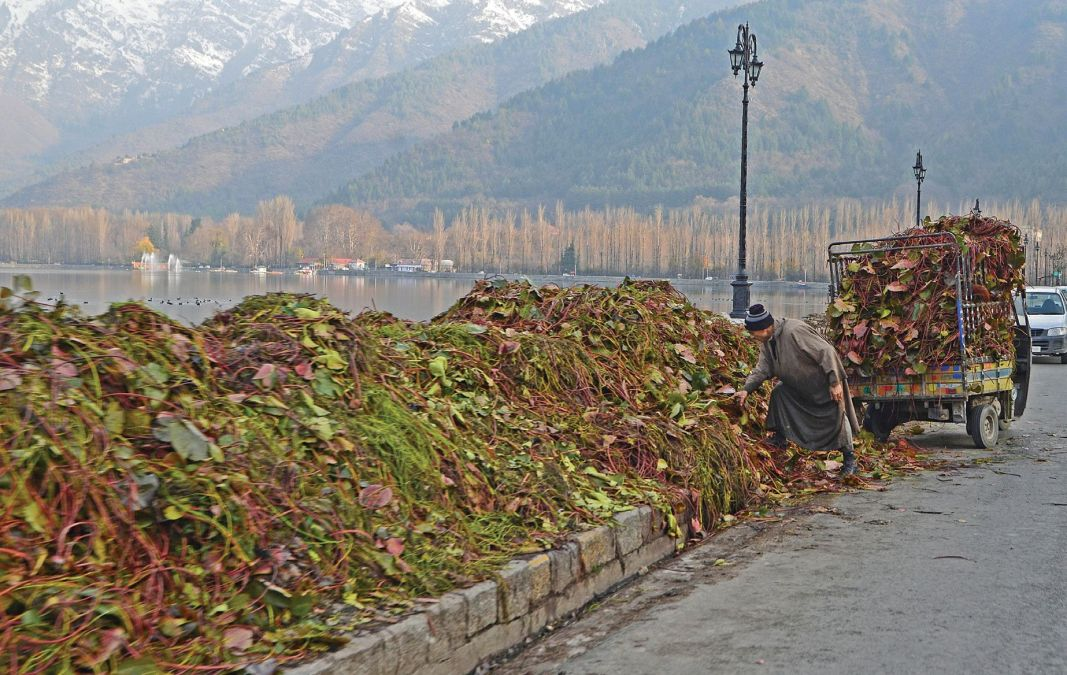 A man collects weeds cleared from Dal lake