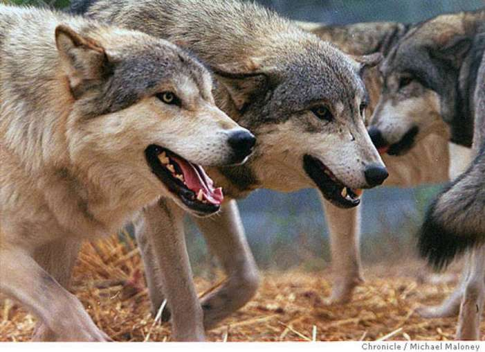 17 sheep killed in suspected wolf attack at Pattan