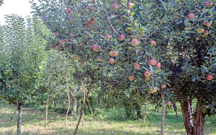 Early scab infection in apple leaves worries orchardists