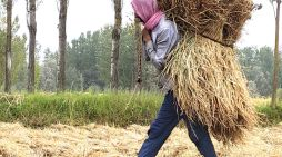 A farmer carries paddy sheaves in a field in Pampore area