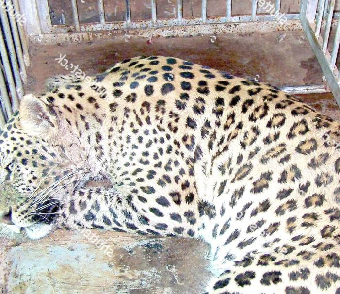 Leopard beaten to death with 'sticks' for killing nine sheep