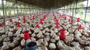 J&K govt bans import of poultry over bird flu threat