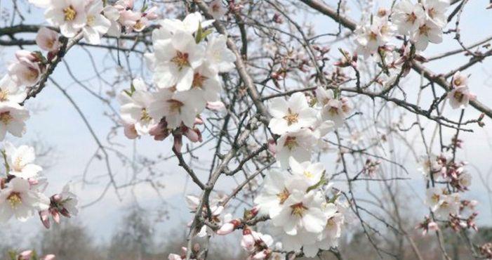 The first almond flower bloom at Badamwari in Srinagar
