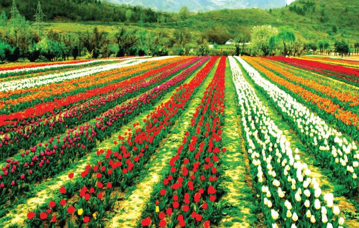 Tulip Garden to open for visitors tomorrow