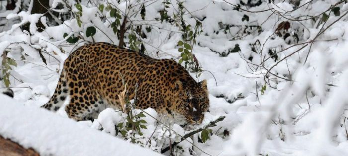 Increase in orchards, stray dogs reason for more leopards in human areas