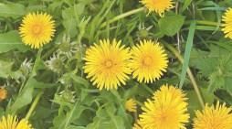 Nature's spring cuisine gift: Dandelion
