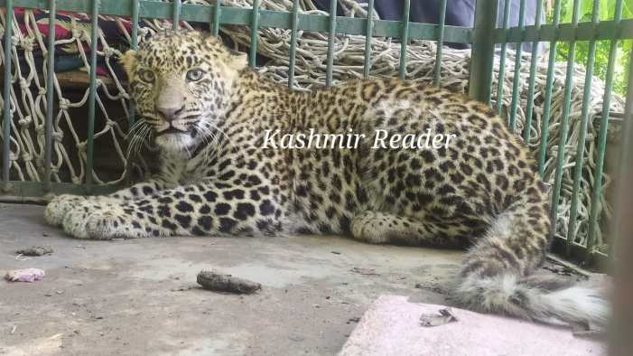 Leopard caught in Pampore by wildlife team