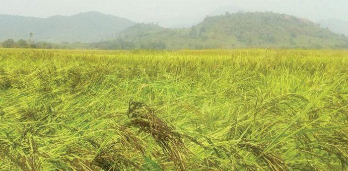 Gurez admin orders for restraint against early harvesting of Kala Zeera