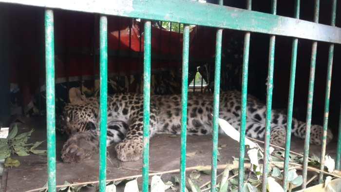 Srinagar: Leopard caught in Balhama by wildlife team