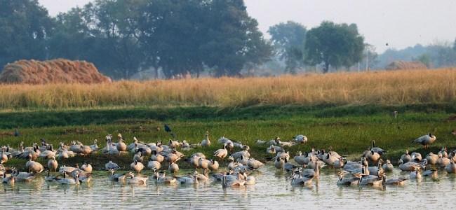 Migratory birds congregate at Gharana