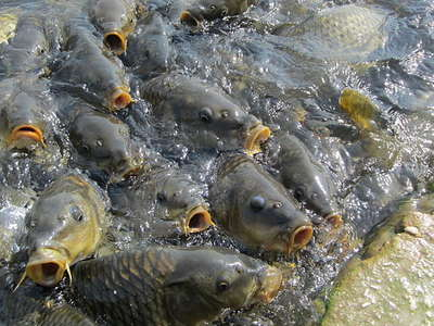 Carp fish destroying other fish species in Mansar Lake, officials say, can't be taken out as religious sentiments involved