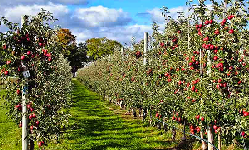 Plantation of high density apple goes up in South Kashmir