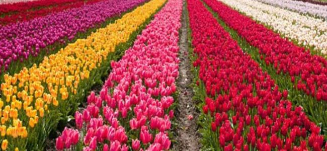 Tulip Garden closed for public visits, say officials