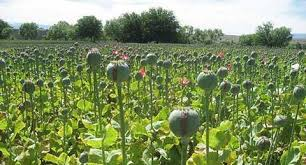 Ban on Poppy, Cannabis imposed at Pulwama