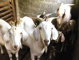 Around 40 sheep, goats crushed to death by speeding truck